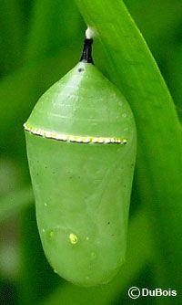 ... Butterflies Moths Ladybugs, Lepidoptera Butterflies, Monarch Butterflies, Green Monarch, 3 Monarch, Monarch Chrysalis, Caterpillars Food
