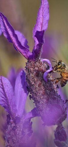 Bees love lavender! http://natureblogger.com/bee-lavender/