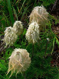 Dr Seuss flowers :) - they're 'western pasqueflowers' . And I'm pretty sure I'm in looooove! Garden Trees, Garden Plants, Backyard Plants, Outdoor Landscaping, Outdoor Gardens, Landscaping Ideas, My Flower, Flower Pots, Preschool Garden