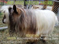 Information about our Miniature Silky Fainting Goat buck, San Sujo Buster Brown, at GottaGoat Farm. Fainting Goat, Goats, Miniatures, San, Brown, Mockup, Goat, Browning, Brow