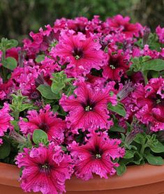 Petunia, Espresso Frappe Rose Hybrid - Petunias, good in hanging baskets and pots Petunia Tattoo, Container Plants, Container Gardening, Succulent Containers, Container Flowers, Vegetable Gardening, Organic Gardening, Flower Seeds, Flower Pots