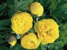 VÝŠKA 70 CM, KONTEJNER 3L, DOBA KVĚTU V-VIPěstujeme ve vlhké, ale dobře odvodněné hlinito-písčité půdě. Bohatou vlhkost potřebují během první části vegetačního období. V horkém letním období ocení částečný odpolední stín.Pivoňky nevysazujeme příliš hluboko, neboť hlouběji zasazené rostliny mívají menší násadu květů. Nereagují dobře na přesazování, na jednom stanovišti vydrží mnoho let.Hodí se k výsadbě na živé ploty podél plotů, chodníků, příjezdových cest nebo stěn.Itoh pivoňky jsou vzácné… Crown, Yellow, Flowers, Plants, Corona, Royal Icing Flowers, Flower, Florals, Crown Rings