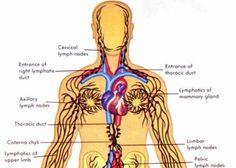 Foarte asemănător cu reţeaua sanguină, sistemul limfatic este totuşi diferit de aceasta. În timp ce sângele duce substanţele nutritive şi oxigenul la