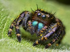 Rainforest spiders macro photography, Large scale photography is an exceptional type of visual workmanship that helps us catch the magnificence of the smaller than expected world sneaking directly in front of us. One tenant of this magical world, concealed by the stripped eye, is the bouncing arachnid, caught in all its adorableness by Photo ShooterThomas …