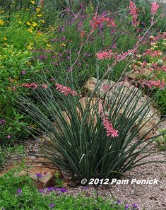 Red yucca have red blooms that attract hummingbirds, and they are extremely drought tolerant.