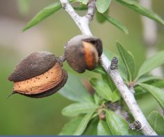 Goods from Middle East- almonds