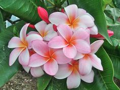 pink plumeria flowers from Maui