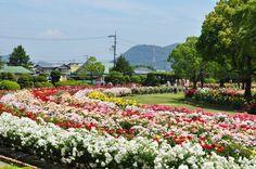 Okayama 岡山(おかやま) 岡山県北区撫川のRSkバラ園で、100万本のバラが咲き誇り、訪れた人々を魅了しています!