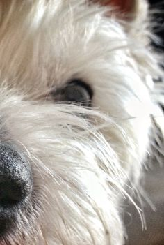 Westie - love that big black nose! Highlands Terrier, West Highland Terrier, Westies, Cute Puppies, Dogs And Puppies, Chihuahua Dogs, Yorky, White Terrier, Terrier Mix