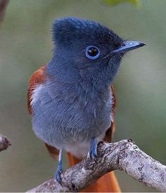 African Paradise Flycatcher, posted by Beautiful Birds via Facebook.com