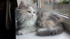 This is flump. Our Persian/Ragdoll kitten. What a gorgeous ball of fluff. Sent in by Craig Driver-Gray:
