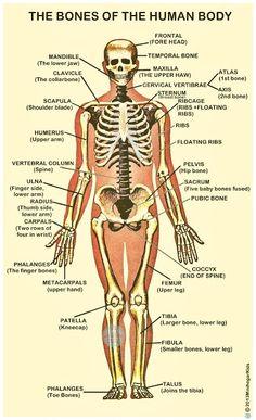 The bones of the human body. Los huesos del cuerpo humano (nombres en inglés).