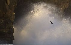 A European shag (Phalacrocorax aristotelis) is captured flying between coastal rocks with a large wave crashing against the Snaefellsnes peninsula