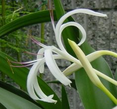 japanese Amaryllis:   Crinum asiaticum:   Not even King Solomon with all his wealth had clothes as beautiful as one of these wild flowers.