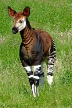 Okapi. It looks like a zebra, deer and horse all in one yet it is in the giraffe family. It has a blue long tong and eats poisonous plants and burnt tree bits.