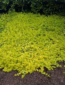 Creeping Jenny comes back every year and keeps out the weeds.Great contrast color to plants and flowers.