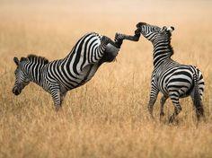 Zebras, Kenya. Photograph by Justin Bowen.