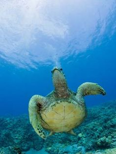 Tortuga de mar verde (Chelonia mydas), Islas Marshall, Océano Pacífico