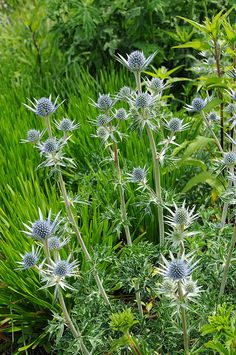 Eryngium. Eryngium is a genus of flowering plants in the family Apiaceae. There are about 250 species. The genus has a cosmopolitan distribution, with the center of diversity in South America. Common names include eryngo and sea holly (though the genus is not related to the true hollies, Ilex). These are annual and perennial herbs with hairless and usually spiny leaves.