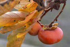 Hurmikaki: Obľúbené neskoré ovocie, ktoré dopestujete aj vo svojej záhrade | Záhrada.sk Fruit, Vegetables, Garden, Garten, Vegetable Recipes, Veggie Food, Gardens, Veggies, Tuin