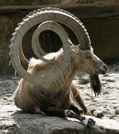 Markhor (wild goat) at the Chitral National Park in Pakistan - Imgur: The most AMAZING set of horns I have ever seen on any animal!