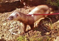 ♛ Azalea Sparkle Trueheart ferret  5/14/14