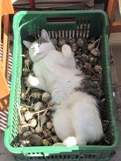 cat ♥this cat ❤s garlic!!!!