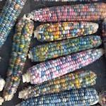 Corn, Hopi Blue, Flour (75-110 days)  An ancient flint corn that is a traditional staple of the Hopi people in Northern Arizona. Can be eaten as sweet corn wh