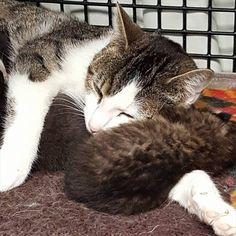 親とはぐれたボブキャットの赤ちゃん。子猫を産んだ捨て猫に会わせてみると… 7枚 | BUZZmag