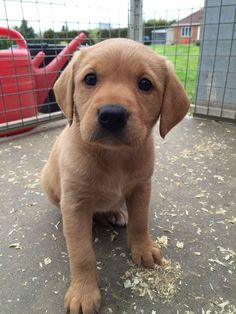 Mind Blowing Facts About Labrador Retrievers And Ideas. Amazing Facts About Labrador Retrievers And Ideas. Fox Red Labrador Puppy, Cute Labrador Puppies, Cute Puppies, Cute Dogs, Dogs And Puppies, Doggies, Golden Labrador, Red Lab Puppies, Giraffes