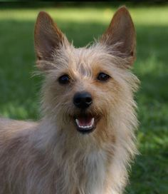 The Portuguese Podengo dog breed is not yet a household name like the Labrador Retriever or the Yorkshire Terrier, but it is arguably more ancient and every bit as popular! Portuguese Podengo, Yorkshire Terrier, Beautiful Dogs, Doggies, Fur Babies, Dog Breeds, Labrador Retriever, Corgi, Cute Animals