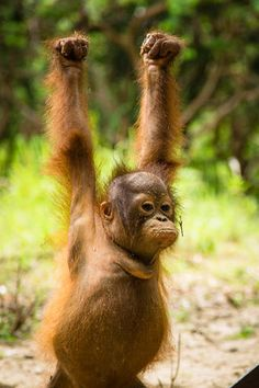International Animal Rescue Hip hip hooray - tomorrow is International Orangutan Day! Noel's looking forward to it - and so are we! Photo courtesy of Thomas Burns Wildlife Conservation Photography Cute Funny Animals, Funny Animal Pictures, Cute Baby Animals, Animals And Pets, Funny Monkeys, Baby Orangutan, Cute Monkey, Baboon, Tier Fotos