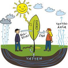Fotosyntes är den process hos gröna växter vid vilken kolhydrater bildas av koldioxid och vatten med solljus som energikälla.