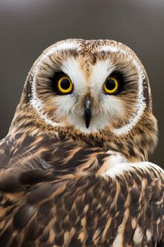 Ever our spirit animal. Who remembers why an owl is part of our logo? This magnifique pic via Beautiful Owl, Animals Beautiful, Cute Animals, Gorgeous Eyes, Owl Photos, Owl Pictures, Animals Photos, Short Eared Owl, Owl Bird