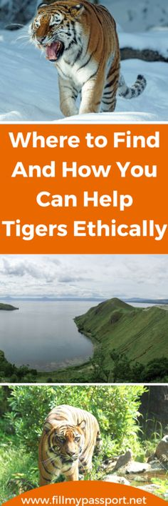 Where to See and How you Can Help Tigers Ethically