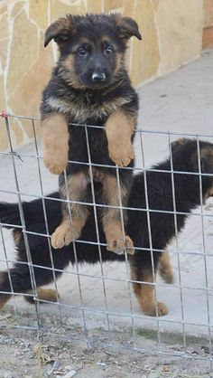 Awww Sweet German Shepherd Puppy....