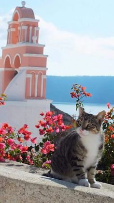 Santorini - there's lots of feral cats here. More cats to love. I Love Cats, Crazy Cats, Cute Cats, Funny Cats, Mykonos, Oia Santorini, Beautiful Cats, Beautiful Places, Santorini Island