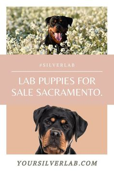 Lab puppies for sale Sacramento through reputed Labrador breeders end happily. We have collected such sources that will organize Lab puppies' sale in 2021. Not only, they are famous but have a variety of dogs................................. #Labrador #labradorretriever #labradorite #labradors Labrador Breeders, Labrador Puppies For Sale, Lab Puppies, Labrador Retriever, Dog Varieties, Silver Labs, Labradors, Sacramento, Organize
