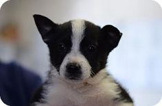 Dahlonega, GA - Border Collie/Australian Cattle Dog Mix. Meet Dany, a puppy for adoption. http://www.adoptapet.com/pet/17534735-dahlonega-georgia-border-collie-mix