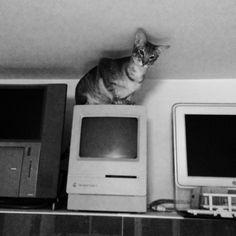 Cat, Vintage Apple