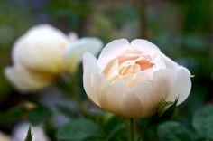Love this color! Rose 'Comtes de Champagne'