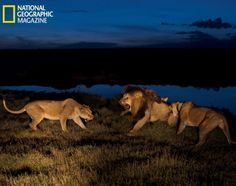 'The Serengeti Lion' Tensions run high during the Serengeti's dry season as prey becomes harder and harder to find. Here, female lions from the Vumbi pride lash out against C-Boy, even though he's one of the group's male leaders.  Read more: http://www.nydailynews.com/news/serengeti-lion-featured-national-geographic-gallery-1.1416273#ixzz2b6tpCNYF