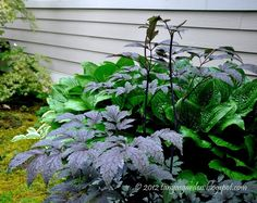 Cimicifuga simplex 'Black Negligee' in front of a green hosta. Black Negligee has purple black tinged foliage, emerges early spring, by late spring contrasts well with yellow or blue foliage, remains colorful until fall.  Fragrant 2' white bloom Aug. - Sept. Requires fertile, organic well drained soil with moderate moisture.