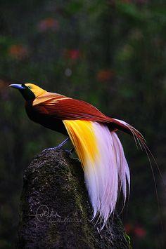 bird of paradise طائر الفردوس | by Abdullah Altoub عبدالله الطوب