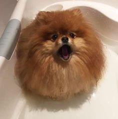 For anybody thinking about owning a Pomeranian, there's one thing that you probably need to know. They melt in water.