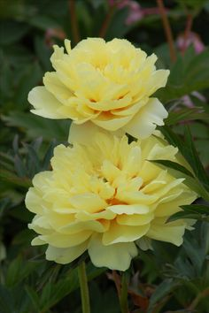 We didn't traditionally assoicate peonie with the color, yellow, but the Itoh hybrid in the picture really is a peony! It's a cultivar called 'Singing in the Rain.' Learn more about peonies at http://landscaping.about.com/od/perennialflowers/p/peony_plants.htm