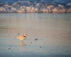The piping plover is a small sand-colored, sparrow-sized shorebird that nests and feeds along coastal sand and gravel beaches in North America.This one was photographed at Ballston beach,along the Cape Cod National Seashore,Truro MA.