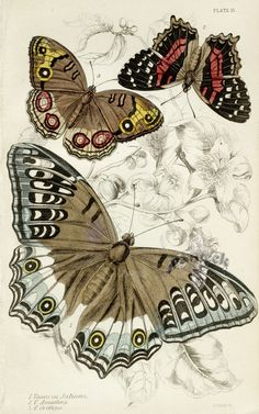 Jardine's Naturalist Library Butterflies 1837
