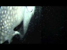 Whaleshark by Night on MY Duke of York - Nilaandhoo Island - Huvadhoo At...