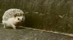 走れ!まるたろう!! トコトコ一生懸命走るハリネズミが可愛い - http://naniomo.com/archives/6936